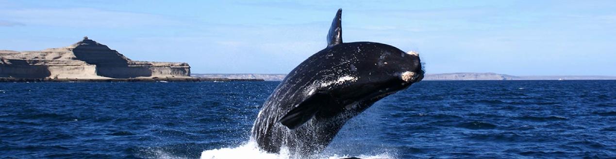 Whale Breaching in Hermanus