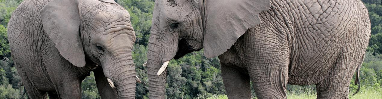 Two Elephants in Knysna Elephant Park